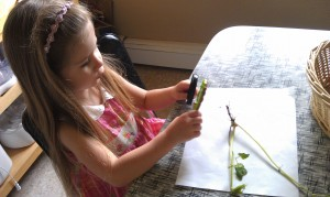 Checking out root systems and comparing lupine and coriander seeds.