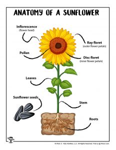 Anatomy of a Sunflower Free Printable