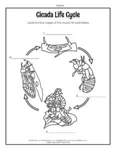 Cicada Life Cycle Worksheet