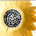 Sunflower Art Project